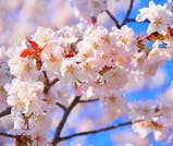 GW旅行にもおすすめ!桜舞う札幌で、「2度目のお花見」を楽しむ旅