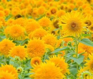 まぶしい夏に負けない!茨城の八重ひまわり畑を満喫する旅