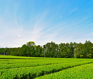 茶畑が広がる静岡でお茶三昧を楽しむ旅